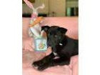 Adopt ~beautiful Bunny~ a Chocolate Labrador Retriever, Siberian Husky